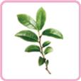 前調 - 綠茶 迷迭香 橙花