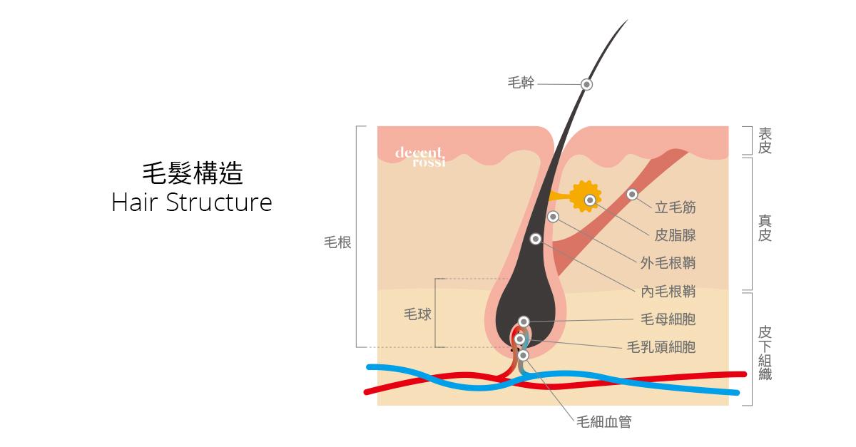 認識毛髮構造,其實頭髮掉了會自然再長。