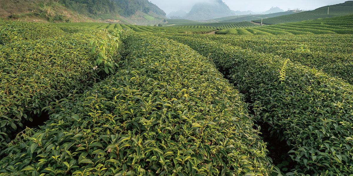 解構茶因子,解析喝茶的好處為什麼那麼多?