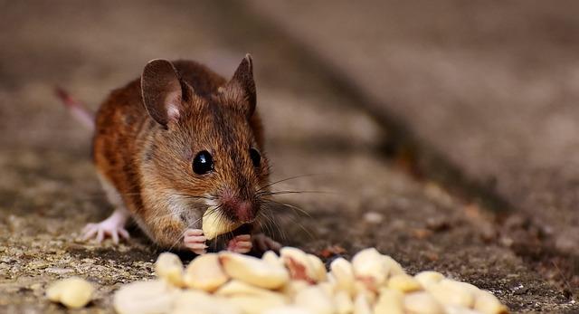 家裡有老鼠