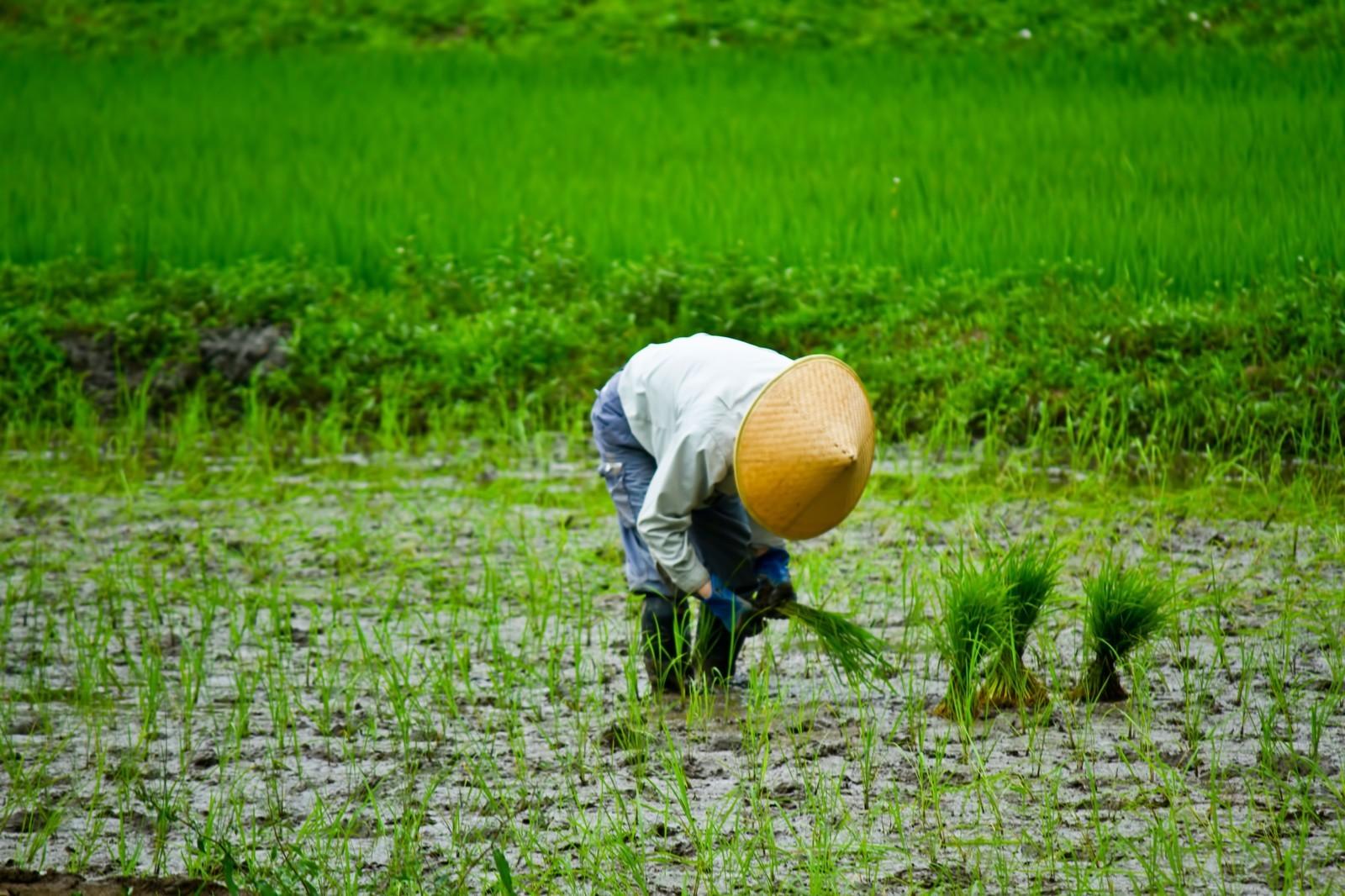 農夫種植全穀類食物