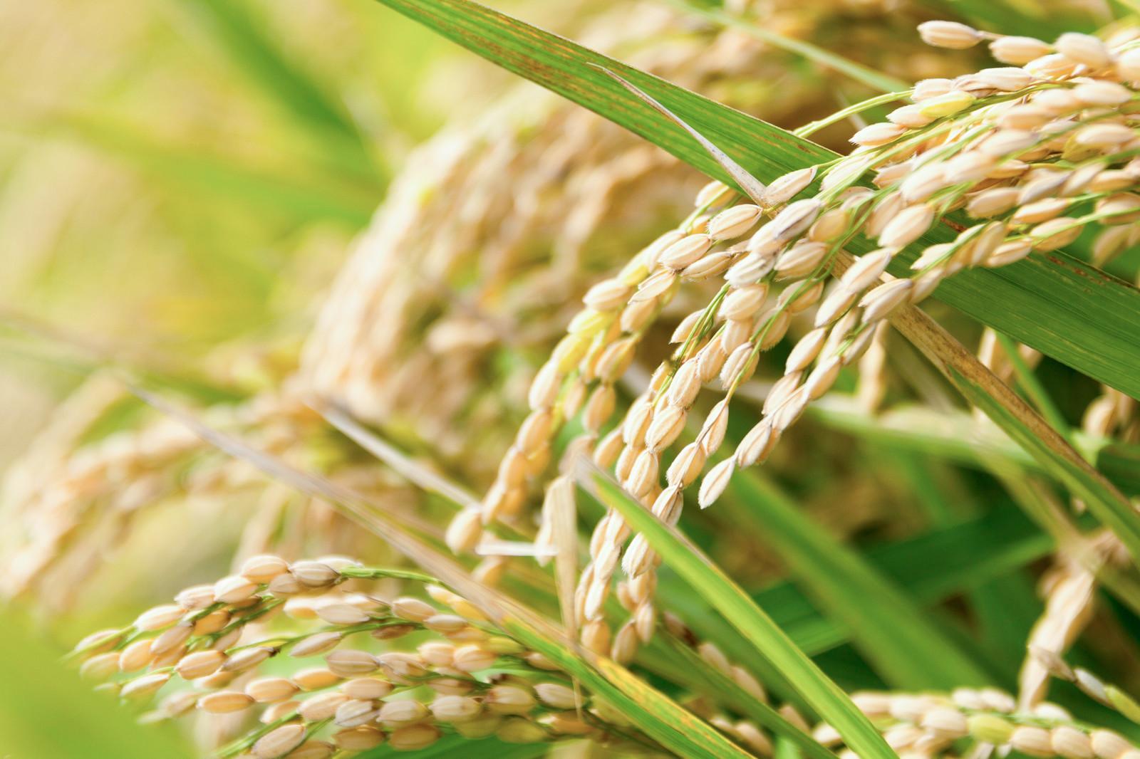 全穀稻米營養完整