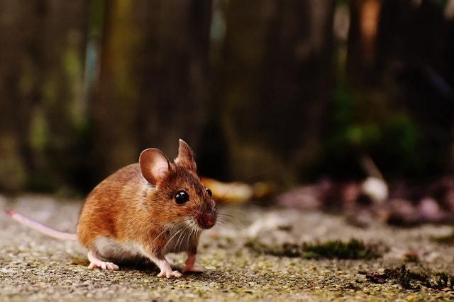 老鼠抓不到怎麼辦?捉老鼠工具有哪些?