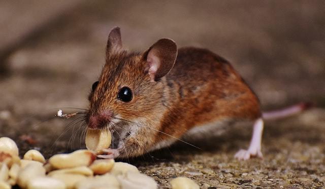 哪種捕老鼠方法最受歡迎?成功機率高嗎?