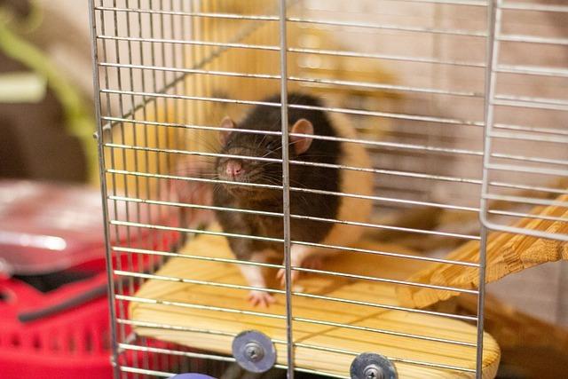 各種捕老鼠器都可以成功抓到老鼠嗎?