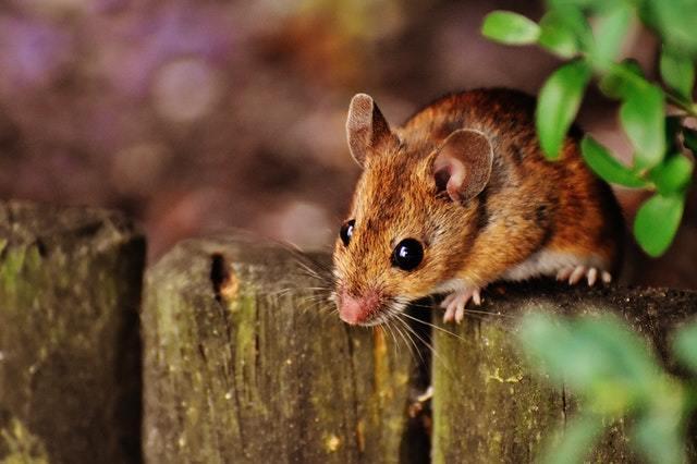 為什麼傳統老鼠籠有時候會抓不到老鼠?
