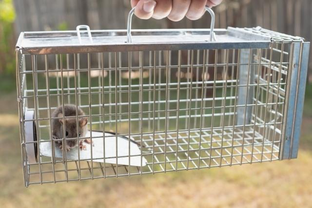 老鼠籠誘餌