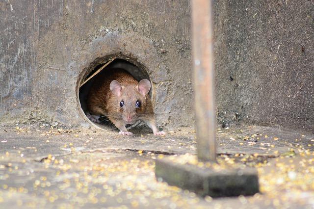 抓到老鼠之後,不殺老鼠會怎麼樣?