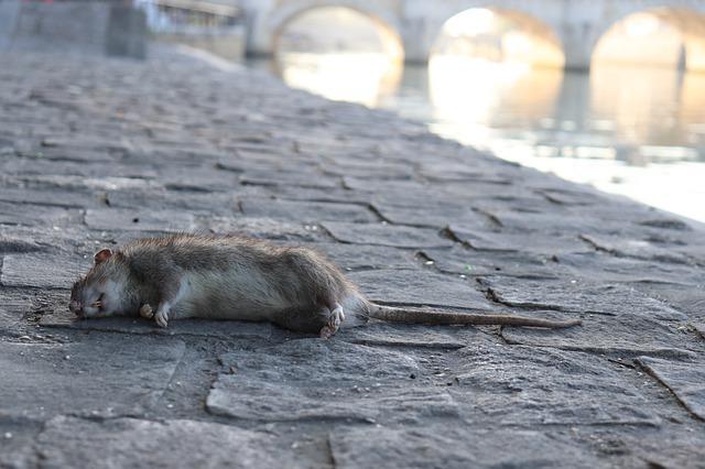 殺老鼠藥有推薦嗎?如何使用?