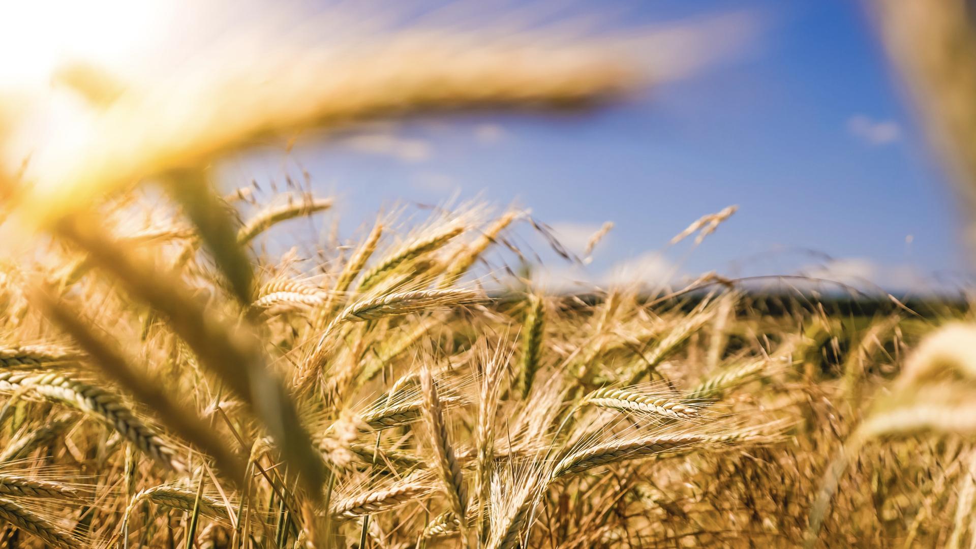 陽光灑下在一片稻田