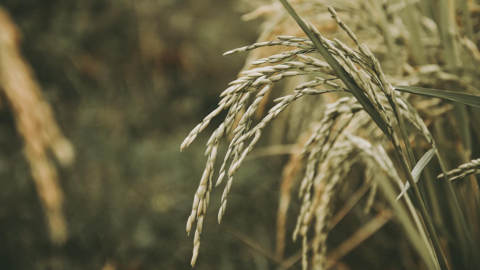 稻米示意圖