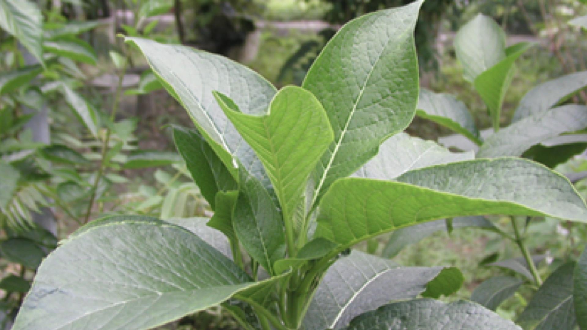 一株假酸漿植物
