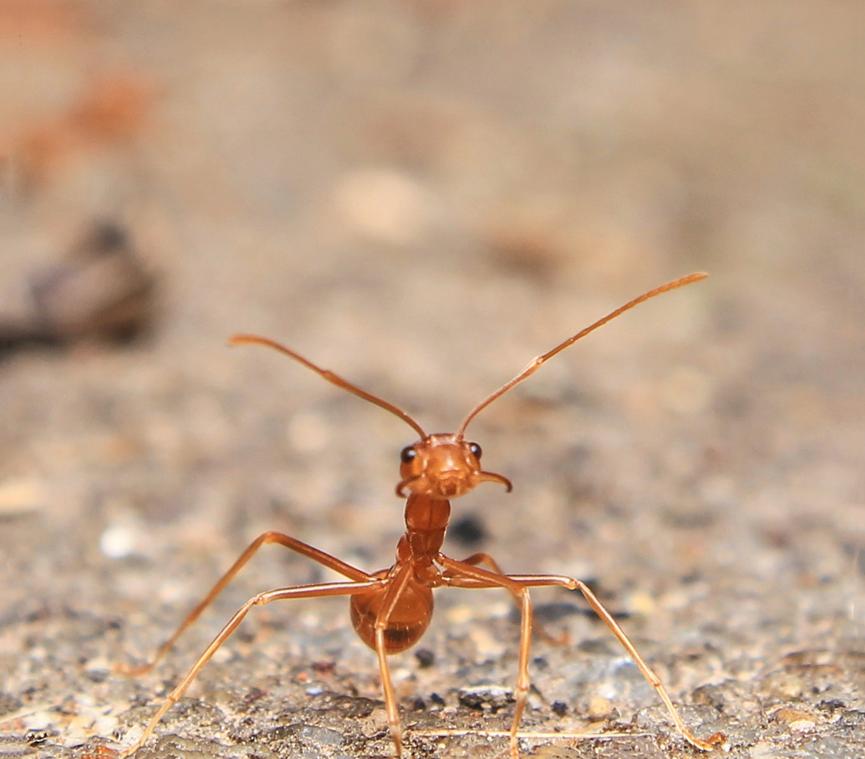 殺螞蟻後為什麼還是會無再出現螞蟻?