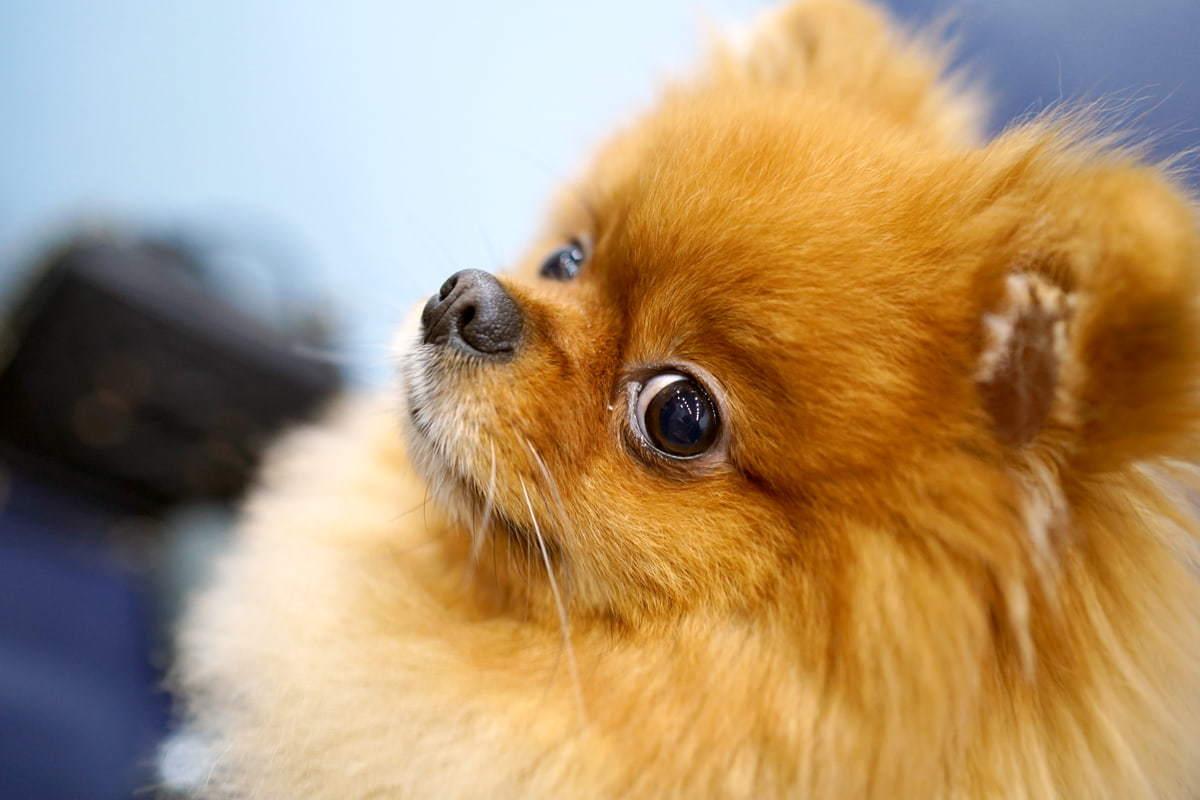 松鼠狗毛髮護理|10件養松鼠狗你要知道的事|Kama Delivery到會外賣速遞服務專家