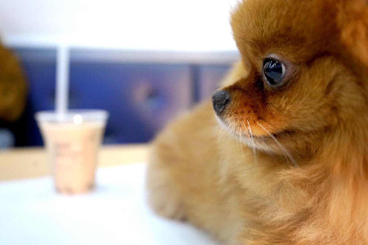 注意松鼠狗氣管問題|10件養松鼠狗你要知道的事|Kama Delivery到會外賣速遞服務專家