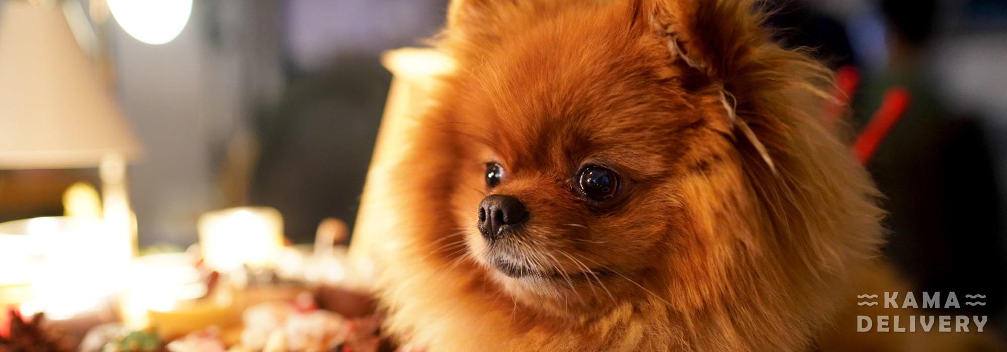10件養松鼠狗你要注意的事|Kama Delivery到會服務專家