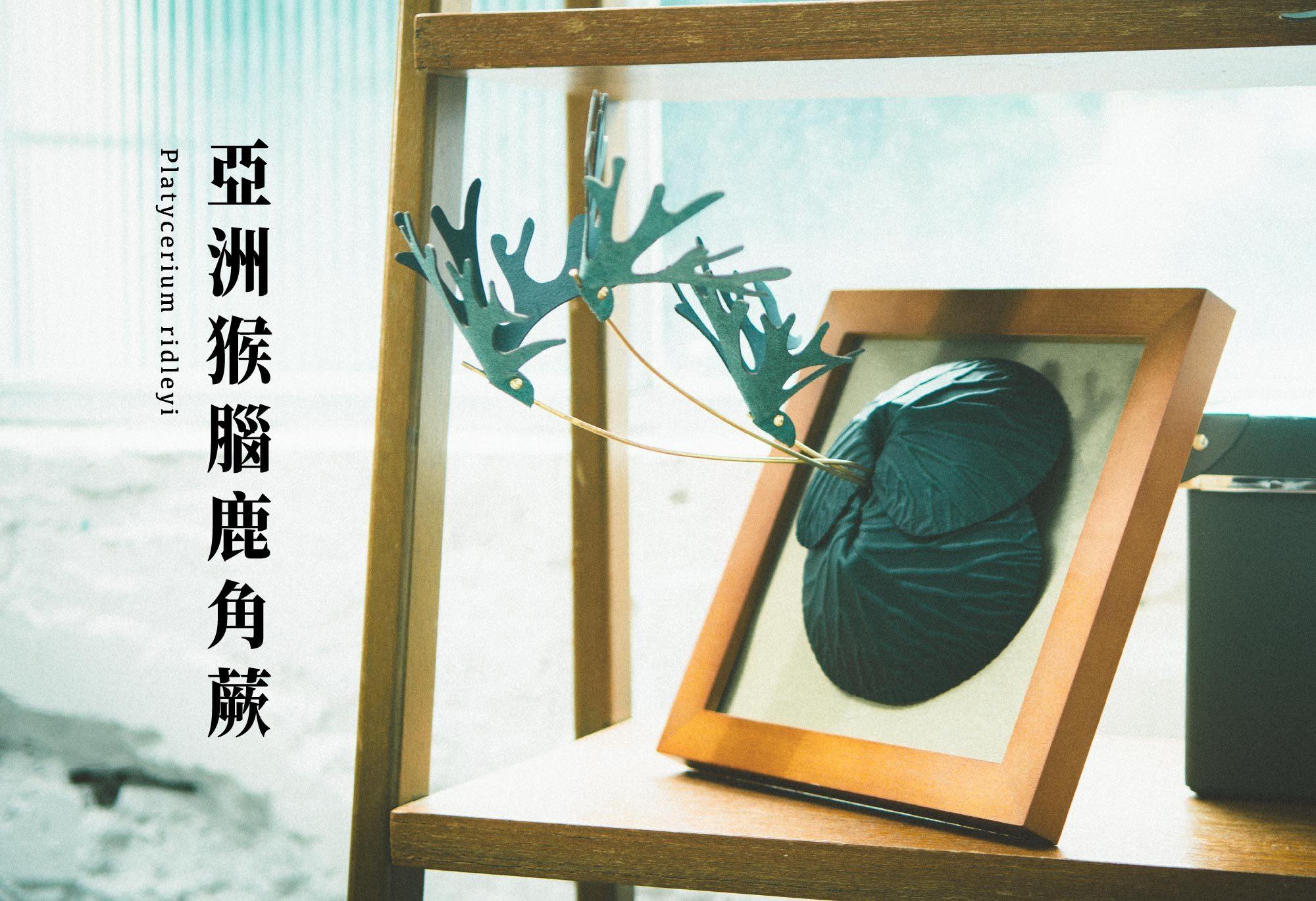 放一株亞洲猴腦鹿角蕨在辦公桌上,陪你認真工作,舒緩你的壓力