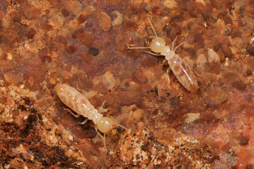 白蟻幼蟲大小?白蟻卵長怎樣?
