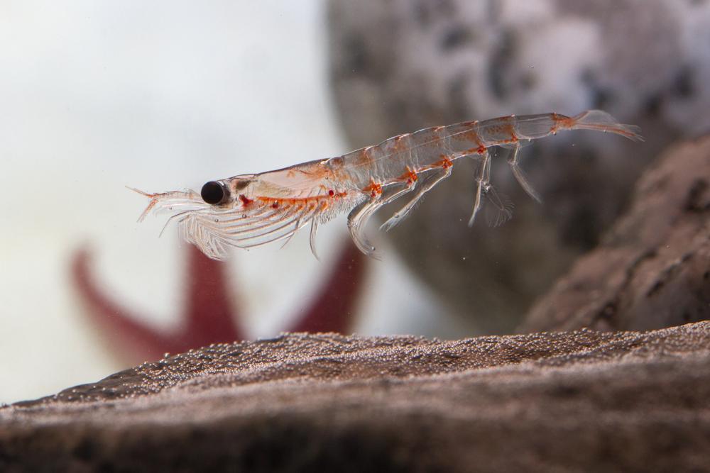磷蝦油萃取自南極磷蝦