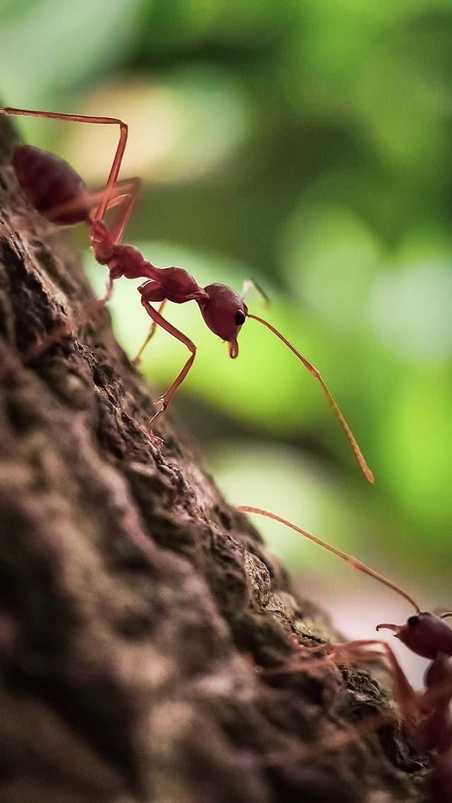 不將紅螞蟻消滅,會怎麼樣?