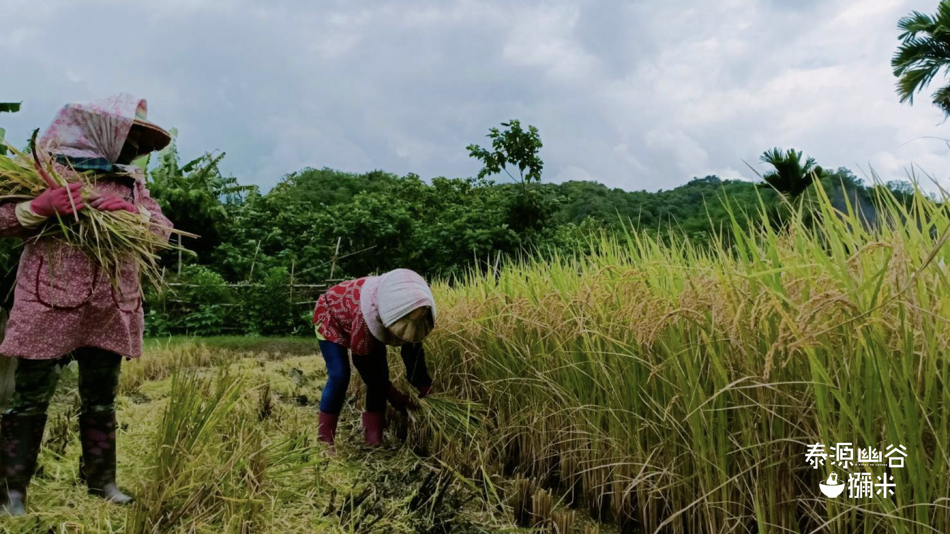 兩位原住民收割稻米與獼米LOGO