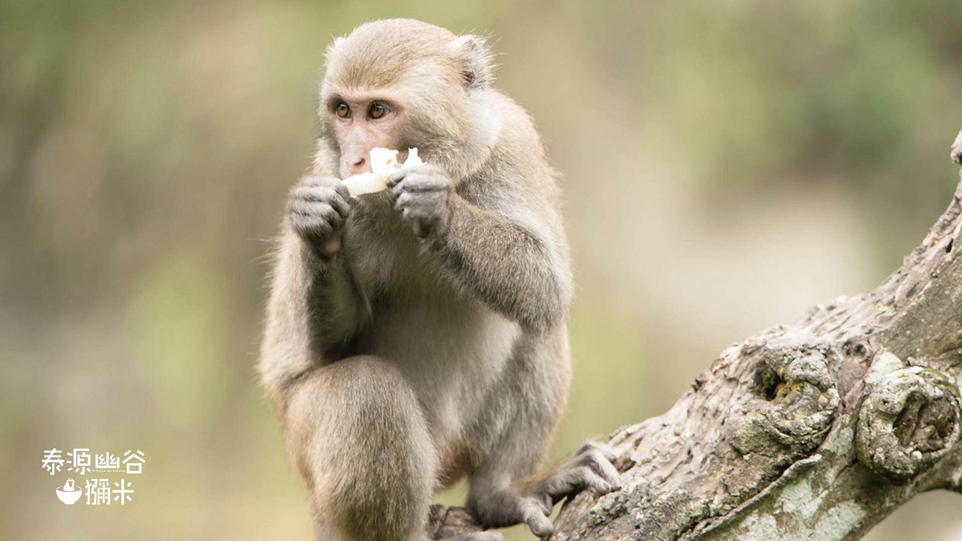 泰源幽谷獼米的獼猴偷吃米的樣子