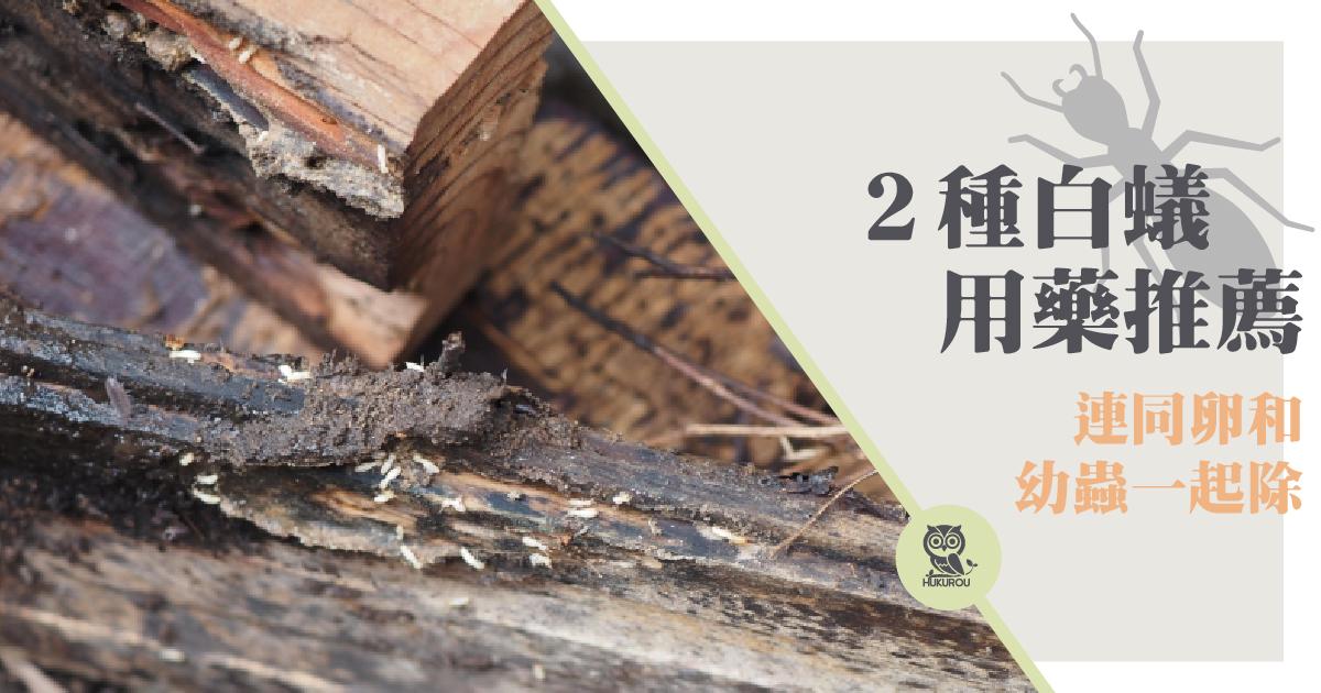 白蟻幼蟲跟白蟻卵長怎樣?白蟻防治這樣做!