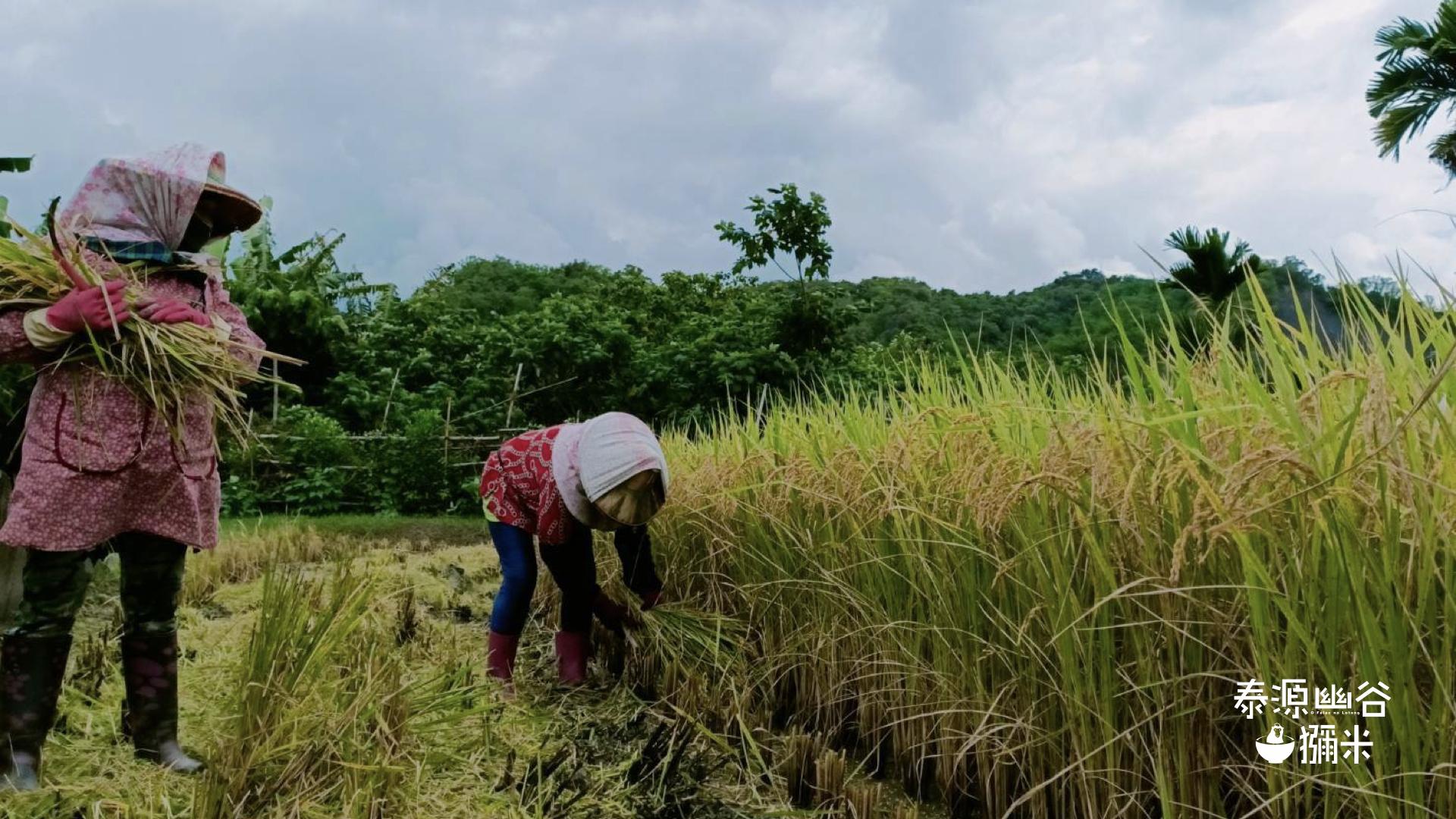 原住民小農在泰源幽谷耕種收割稻米