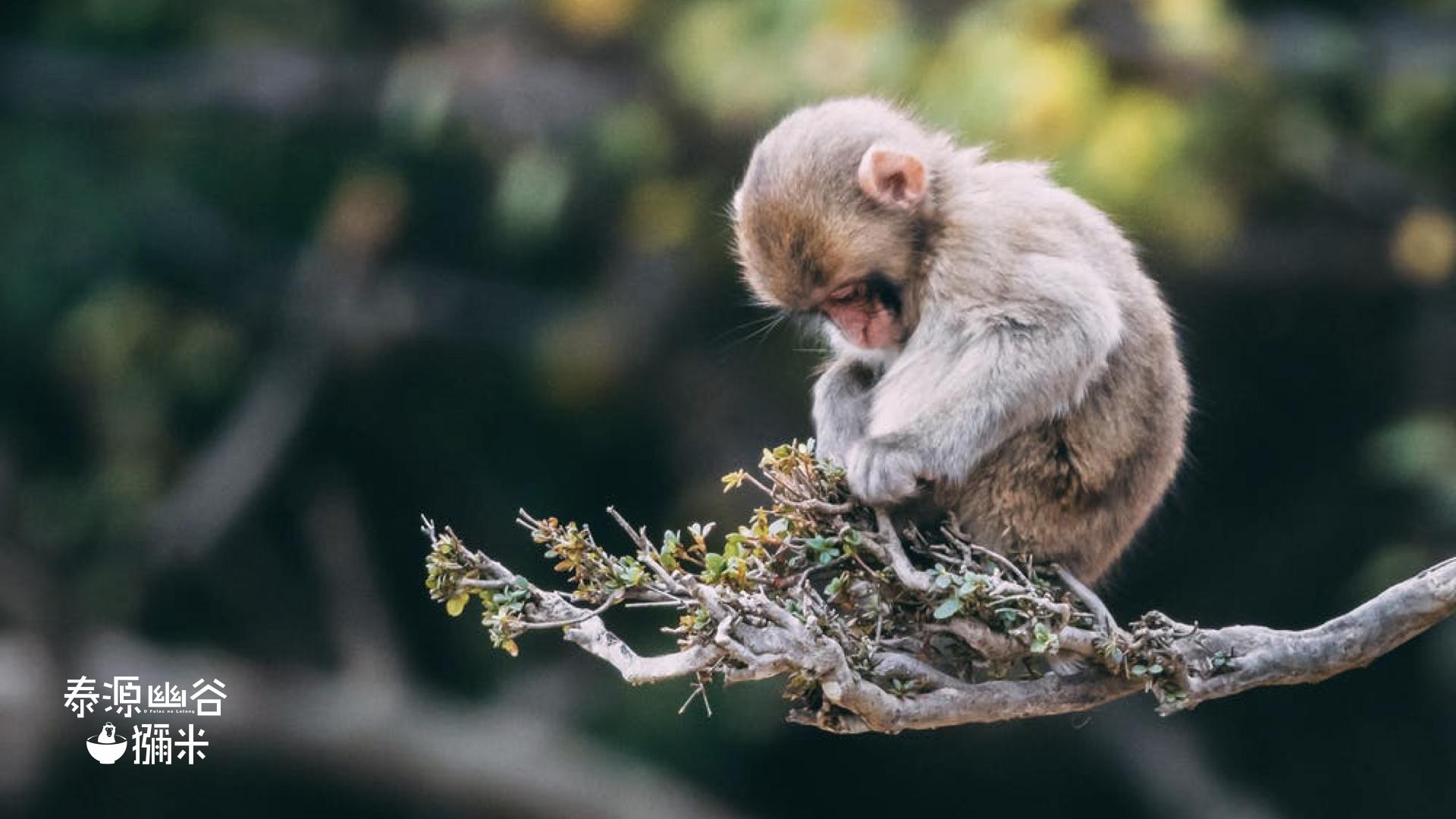 泰源幽谷坐在樹枝的獼猴