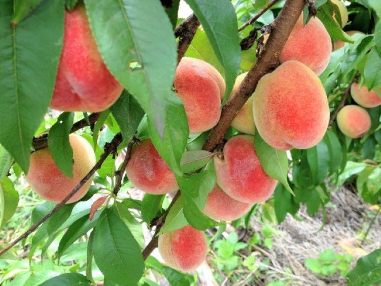 山梨縣水蜜桃受到日照會轉紅 山梨縣水蜜桃越紅的地方甜度也越高