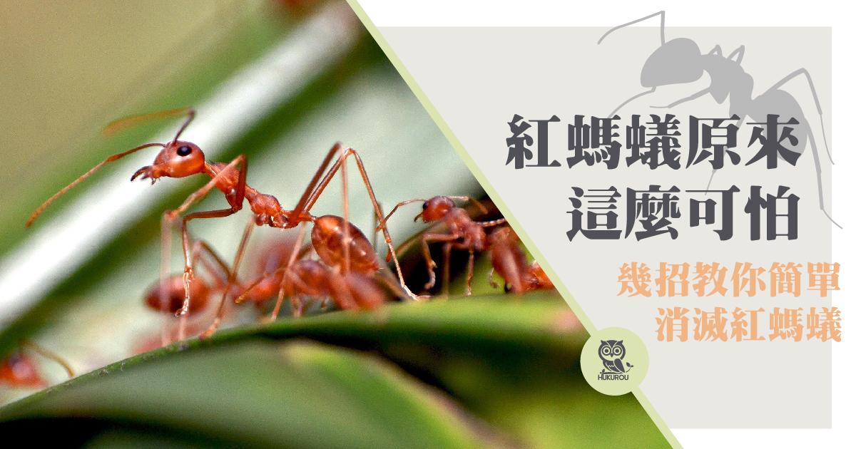 如何消滅紅螞蟻?紅螞蟻藥推薦你