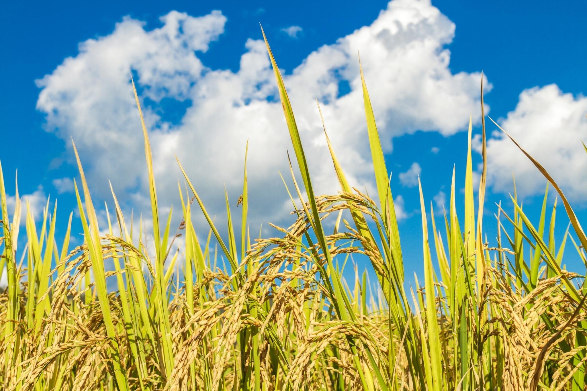 金黃色的臺灣糙米