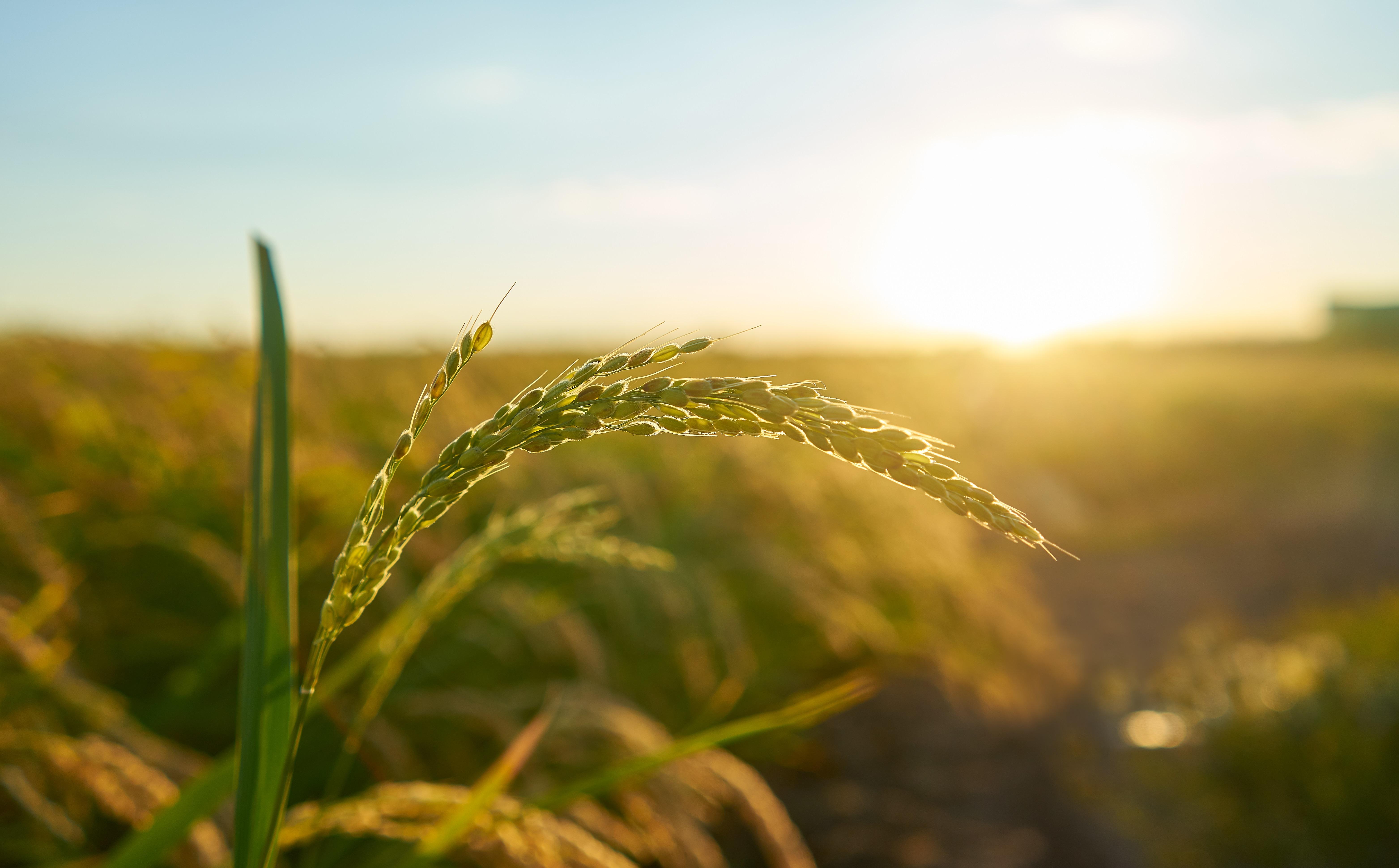 自然的稻田