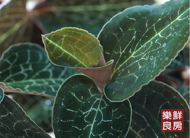 「藥王金線蓮」推薦料理方二:打製成綠拿鐵