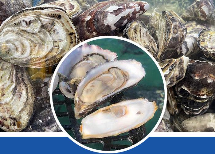 Australia Oyster