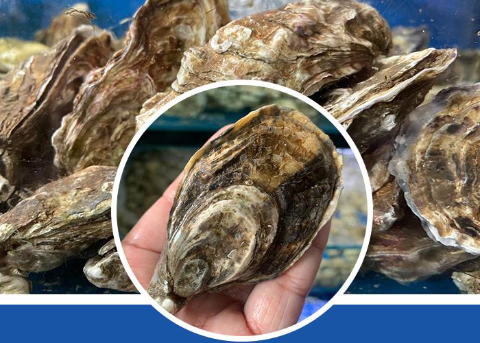 Irish Oyster