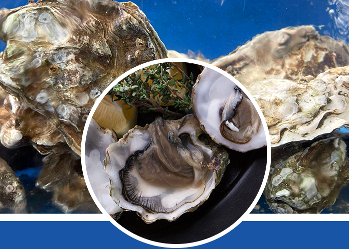 USA Oyster