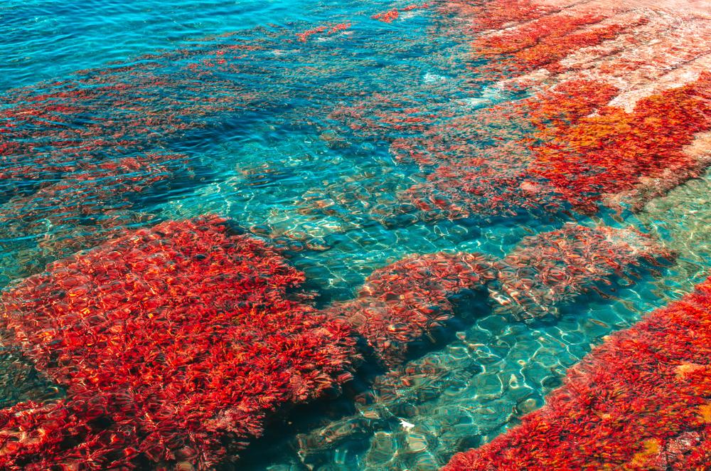 海藻鈣是什麼